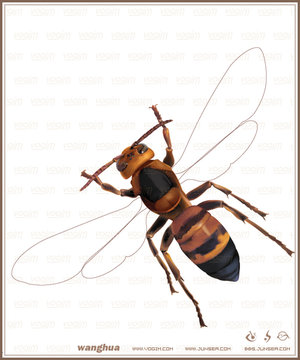 马蜂的身体结构图片