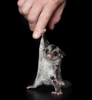 最暖心动物萌照:与人类拉手的澳洲飞袋鼠