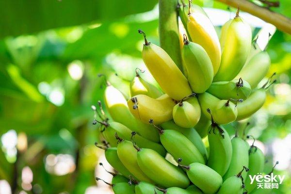 AI进军农业领域,检测香蕉病虫害成功率达90%
