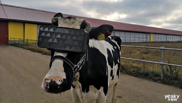 俄罗斯农主给奶牛戴上VR 想让他们有更好的心情