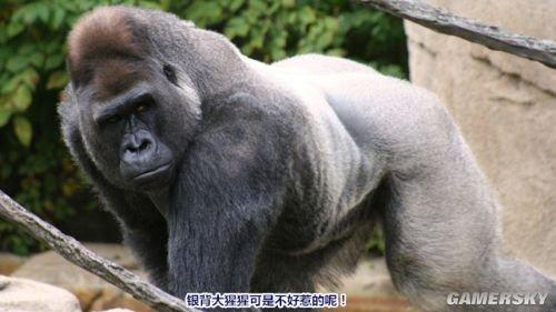 大猩猩是体型最大的灵长类动物